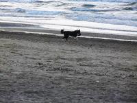 cagnolino gioca in riva al mare - Spiaggia Plaja - 20 settembre 2012  - Castellammare del golfo (320 clic)