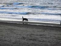 cagnolino gioca in riva al mare - Spiaggia Plaja - 20 settembre 2012  - Castellammare del golfo (322 clic)