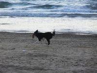cagnolino gioca in riva al mare - Spiaggia Plaja - 20 settembre 2012  - Castellammare del golfo (336 clic)
