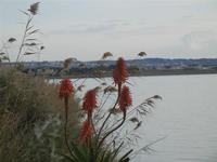 fiori di aloe sullo Stagnone - 29 gennaio 2012  - Marsala (683 clic)