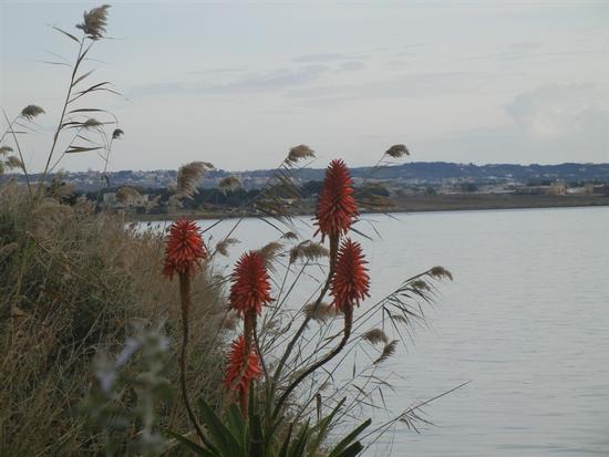 fiori di aloe sullo Stagnone - MARSALA - inserita il 31-Mar-14