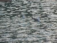 al porto - gabbiani in mare  - 4 giugno 2012  - Castellammare del golfo (293 clic)