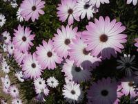 margherite lilla - 3 aprile 2012 - foto di Nicolò Pecoraro  - Alcamo (1219 clic)
