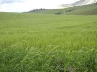 campi di grano e panorama - 15 aprile 2012  BUSETO PALIZZOLO Lidia Navarra (bis)