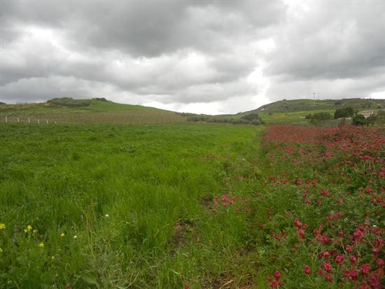 campi di sulla, grano e panorama  - BUSETO PALIZZOLO - inserita il 07-Jul-14