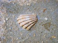conchiglia fossile - 21 settembre 2012  - Marausa lido (1057 clic)