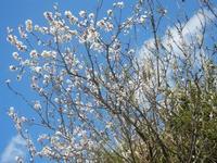 mandorlo in fiore - 4 marzo 2012  - Scopello (1565 clic)