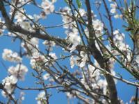mandorlo in fiore - paricolare - 4 marzo 2012  - Scopello (641 clic)