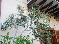 alberello d'ulivo in vaso. davanti casa - 16 settembre 2012  - Castellammare del golfo (262 clic)