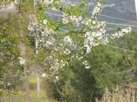 mandorlo in fiore - particolare - 4 marzo 2012  - Buseto palizzolo (471 clic)
