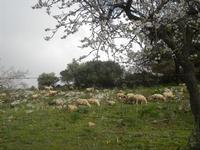 gregge e mandorlo in fiore - 4 marzo 2012  - Custonaci (760 clic)