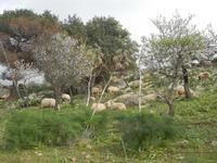 gregge tra i mandorli in fiore - 4 marzo 2012  - Custonaci (675 clic)