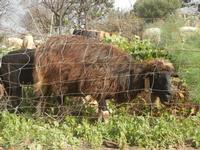 pecore - 4 marzo 2012  - Custonaci (506 clic)