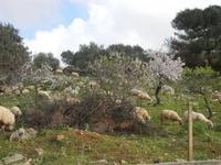 gregge tra i mandorli in fiore - 4 marzo 2012  - Custonaci (954 clic)