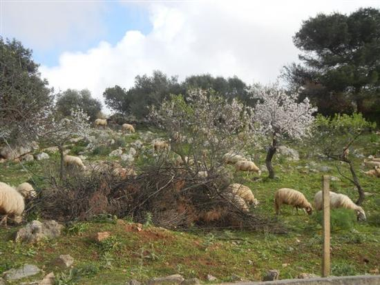 gregge tra i mandorli in fiore - CUSTONACI - inserita il 18-Apr-14
