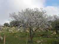 gregge tra i mandorli in fiore - 4 marzo 2012  - Custonaci (789 clic)