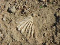 conchiglia fossile - 16 settembre 2012  - Cinisi (606 clic)