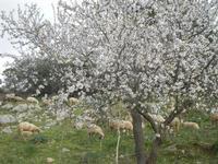 gregge tra i mandorli in fiore - 4 marzo 2012  - Custonaci (924 clic)