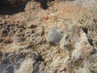 conchiglie fossili - 16 settembre 2012  - Cinisi (555 clic)