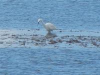 airone bianco - 19 febbraio 2012  - Nubia (581 clic)