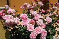 rose - Baglio Arcudaci - 27 maggio 2012 - Foto di Nicolò Pecoraro  - Bruca (612 clic)