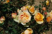 rose - Baglio Arcudaci - 27 maggio 2012 - Foto di Nicolò Pecoraro  - Bruca (427 clic)
