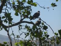 piccioni su albero - 27 maggio 2012  - Segesta (320 clic)