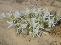 gigli di mare -10 settembre 2012  - Alcamo marina (1125 clic)