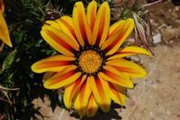 fiore - Baglio Arcudaci - 27 maggio 2012 - Foto di Nicolò Pecoraro  - Bruca (639 clic)