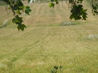 campi di grano - 27 maggio 2012  - Segesta (363 clic)