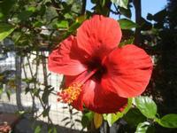 fiore di ibisco rosso - 16 agosto 2012  - Alcamo (746 clic)