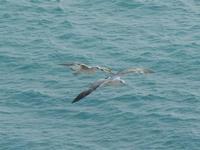 gabbiani in volo sul mare - 26 febbraio 2012  - Sciacca (2316 clic)