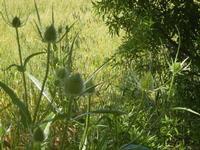 flora e grano - 27 maggio 2012  - Segesta (833 clic)