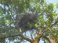 nido su mandorlo - 27 maggio 2012  - Segesta (267 clic)