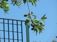 mandorle - 27 maggio 2012  - Segesta (389 clic)