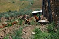 panorama agreste, polli e fienile - Baglio Arcudaci - 27 maggio 2012 - Foto di Nicolò Pecoraro  - Bruca (670 clic)