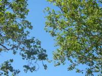 foglie e cielo - 27 maggio 2012  - Segesta (450 clic)