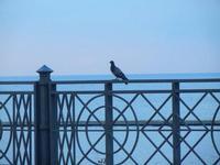 piccione in piazza Petrolo - 19 settembre 2012  - Castellammare del golfo (292 clic)