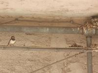 rondine e nido - 5 giugno 2012  - Alcamo (302 clic)