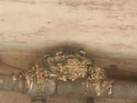 nido di rondini - 5 giugno 2012  - Alcamo (261 clic)