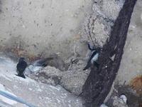 rondini e nidi - 19 settembre 2012  - Castellammare del golfo (288 clic)