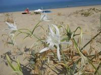 gigli di mare - Zona Canalotto - 16 agosto 2012  - Alcamo marina (254 clic)