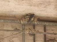 rondine e nido - 5 giugno 2012  - Alcamo (249 clic)
