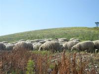 SIRIGNANO - Agriturismo - gregge di pecore al pascolo - 1 maggio 2012  - Monreale (1170 clic)
