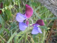 orchidea selvatica - R.N.O. Bosco d'Alcamo - Monte Bonifato (293 clic)
