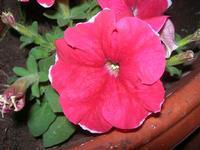 petunia - 30 maggio 2012  - Alcamo marina (258 clic)
