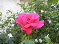 rosa - 12 agosto 2012  - Erice (957 clic)