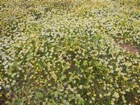 prato di margherite - 15 aprile 2012  - Terrasini (788 clic)