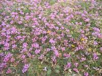 prato di fiori lilla - 15 aprile 2012  - Terrasini (2215 clic)