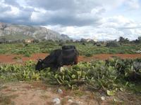 bovini al pascolo tra i ficodindia ai limiti della Riserva Naturale Orientata Capo Rama - 15 aprile 2012  - Terrasini (959 clic)